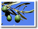 Paxos Olives, Paxos Olive Oil